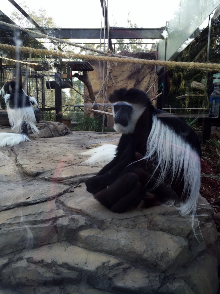 Colobus monkey Jamala wildlife lodge