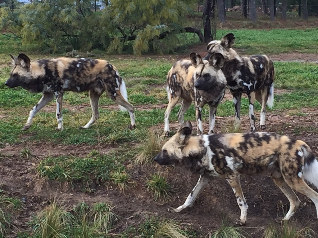 painted dogs Jamala wildlife lodge