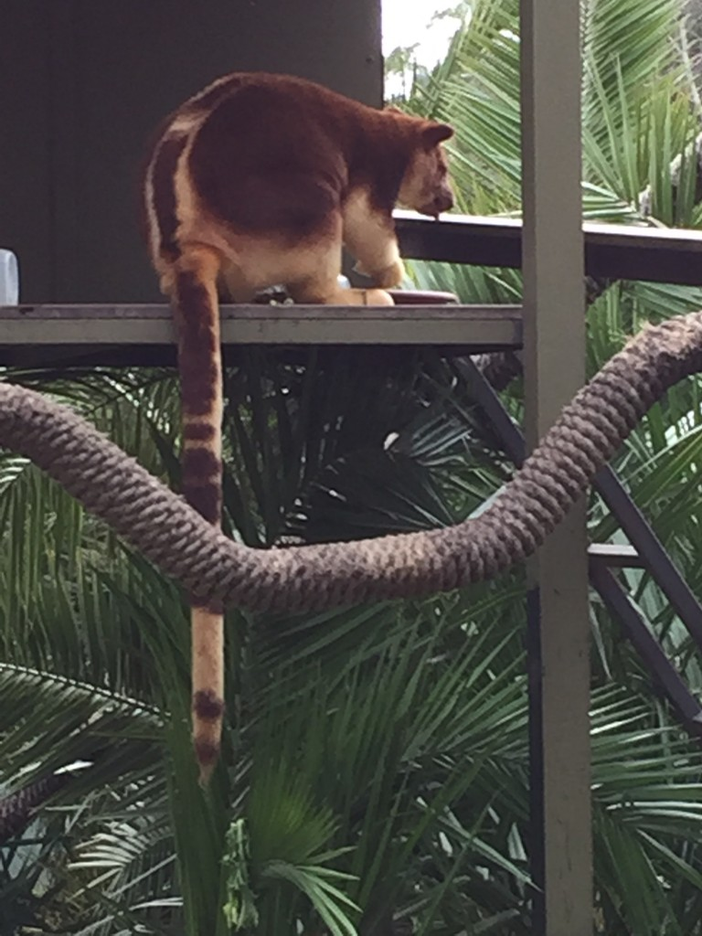 Tree kangaroo Jamala wildlife lodge