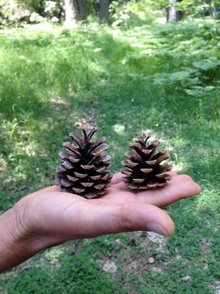 Mt Etna pine cones